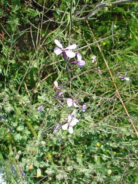 Moricandia arvensis procedente de margen de camino en Sierra Minera, Murcia,