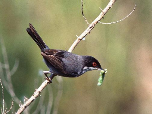 Curruca cabecinegra, Aves de la Region de Murcia.
