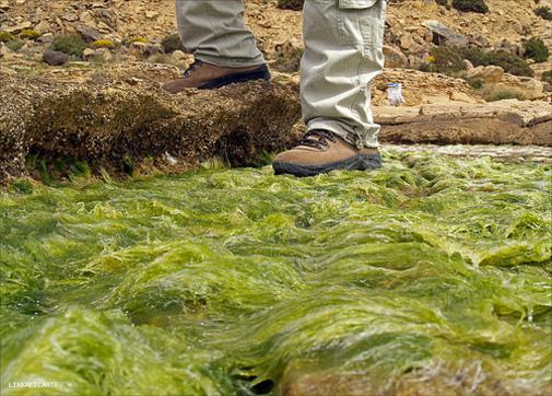 Piso de algas marinas en Cabo de las Huertas