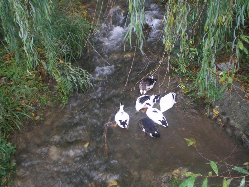 Patos y Anades en Cazorla