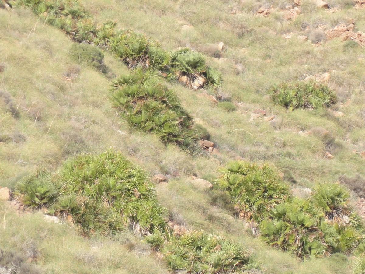 Los palmitos del Parque Cabo de Gata-Nijar