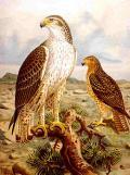 Bonelli's eagle, Region of Murcia