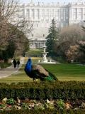 Peacock in the Field Resided of the Real Palace