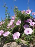 flores silvestres de Ceuta